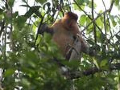 3-Hour Small Group River Safari and Brunei Proboscis Monkey Tour